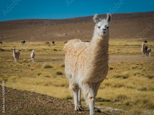 Deurstickers Lama Llama 4