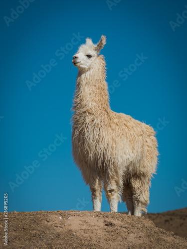 Foto op Canvas Lama Llama 6