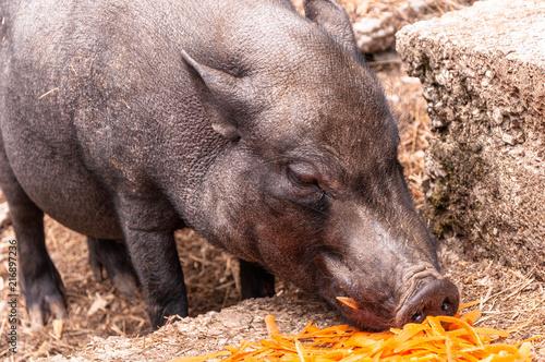 Fotografie, Obraz  Schwein frisst Küchenabfälle IV