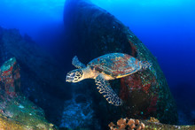 Beautiful Hawksbill Sea Turtle Swimming Over A Dark, Tropical Coral Reef And Rock Formation
