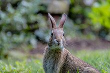 Small Young Eastern Cottontail...