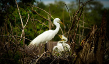 Nesting Great White Egret With Baby Birds / Florida Swamp Bird