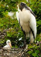 Beautiful Wood Stork And Babie...