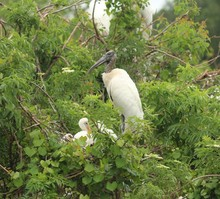 Family Of Wood Stork / Babies ...