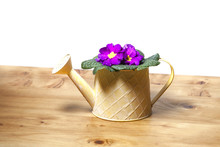 Sweet Violet Pansy Growing In A Rustic Watering Can