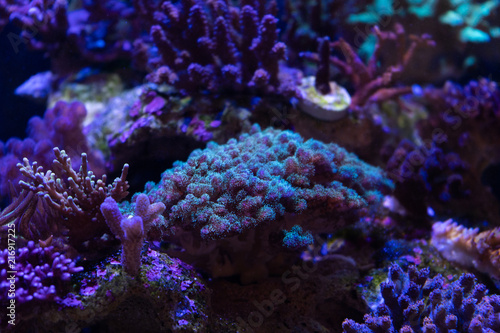Staande foto Koraalriffen pocillopora coral on a reef