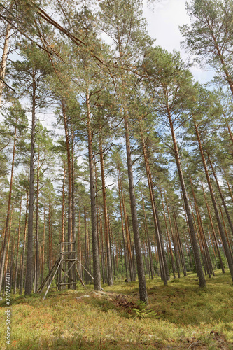 Fototapeta Well managed pine wood and a raised hide or tree stand, the ground covered with blueberry plants obraz na płótnie