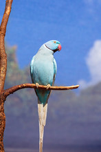 Indian Ring Neck Bird From India