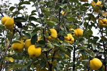 On A Branch Yellow Fruits Of Quince