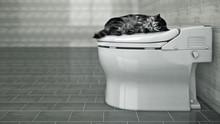 Cat Sleeping In The Toilet