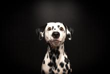 Dalmatiner Wartet Auf Belohnung