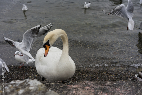 Staande foto Zwaan swan close up on lake shore in winter with birds