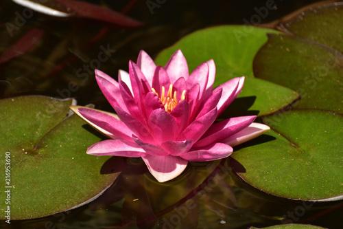 Fototapeta Lilia wodna  rozowa-lilia-wodna-w-blasku-slonca