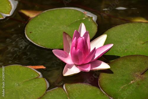 Fototapeta Lilia wodna  nierozwkitnieta-rozowa-lilia-wodna-w-blasku-slonca