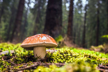 Wet Single Brown Bay Bolete Mushroom In Forest With Moss And Grass On The Ground