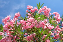 Bush With Pink Flowers Oleander Close-up