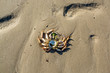 Remains of a dead crab left on sandy beach at low tide on hot summer day