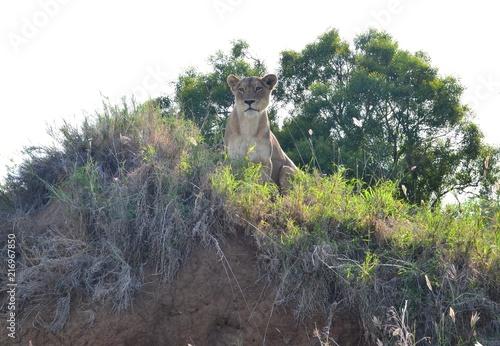 Aluminium Prints Bonsai Lioness on Termite Mound