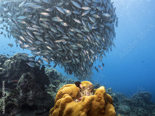 Tuinposter Koraalriffen Bait ball in coral reef of Caribbean Sea at scuba dive around Curacao /Netherlands Antilles