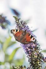 Peacock Butterfly On A Buddleja Flower