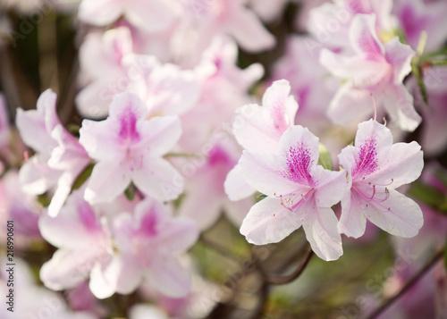 Foto op Plexiglas Azalea Azalea Plant