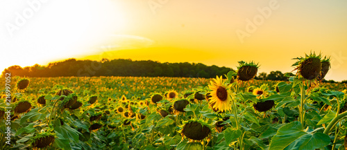 Cadres-photo bureau Melon Sunflower field at sunset