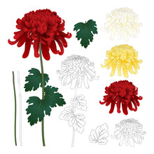 Red, White, Yellow Chrysanthemum With Outline
