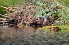 Beaver Working On Beaver Lodge...