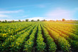Leinwanddruck Bild - potato plantations grow in the field. vegetable rows. farming, agriculture. Landscape with agricultural land. crops