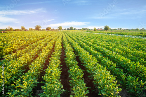 Autocollant pour porte Culture potato plantations grow in the field. vegetable rows. farming, agriculture. Landscape with agricultural land. crops