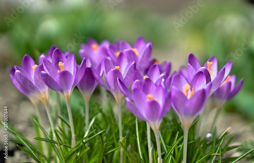 Keuken foto achterwand Krokussen kwitnące krokusy na rozmytym zielonym tle