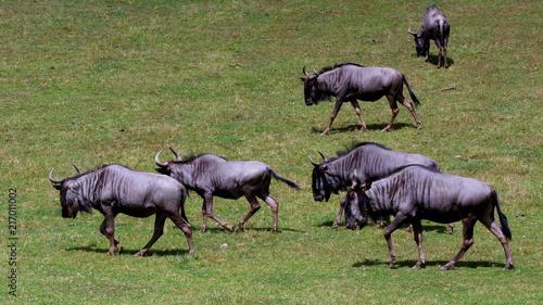 Stado antylop gnu wypasające się na safari - Afrykańska flora i fauna