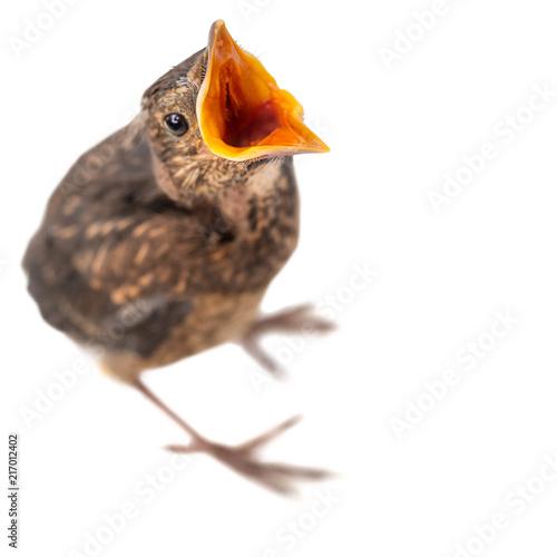 Fotografie, Obraz  freigestellter junger Vogel mit offenem Schnabel bettelt oder ruft etwas