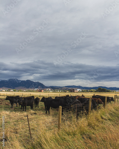 Poster Donkergrijs Montana Cows
