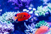 Flame Angelfish (Centropyge Lo...