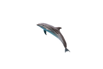 Bottlenose Dolphin jump to sky on white isolated background