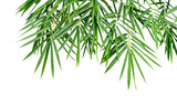 Tropical plant green bamboo leaves isolated on white background, nature backdrop, clipping path included