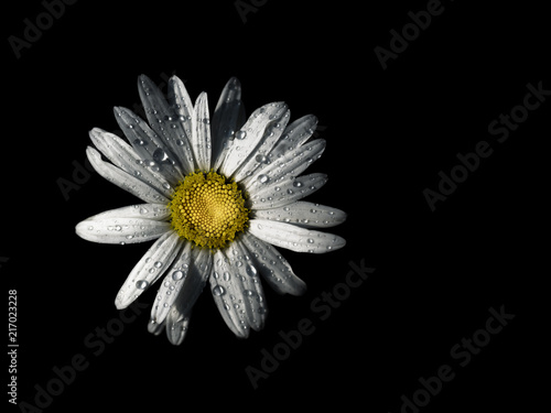 Foto op Canvas Madeliefjes Close up of Oxeye daisy (Chrysanthemum leucanthemum) with raindrops on white petals on black background