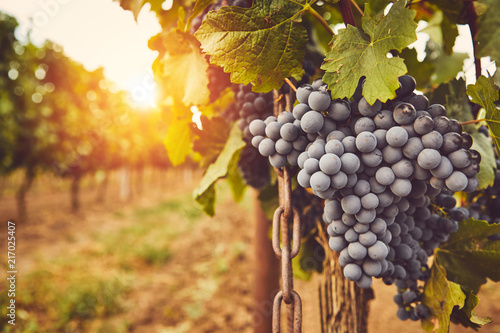 Foto op Canvas Wijngaard Ripe blue grapes on vine at sunset