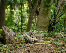 Adult Iguana Basking In The Mexican Jungle