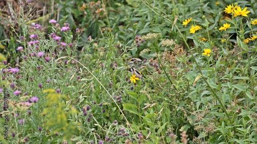 Leinwand Poster Zwei Stieglitze (Carduelis carduelis) fressen Samen der Wiesen-Flockenblume (Cen