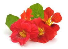 Red Nasturtium With Leaves.
