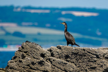 A Watchful Cormorant On A Rock...