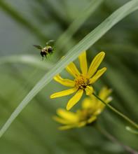Bumblebee Landing On Yellow Flower