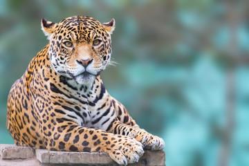 leopard koji gleda portret kamere