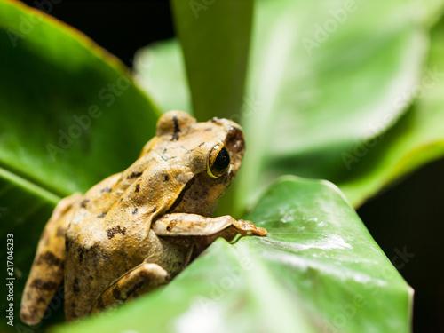 Tuinposter Kikker White lipped Tree frog on the green leaf - Rhacophorus Leucomystax