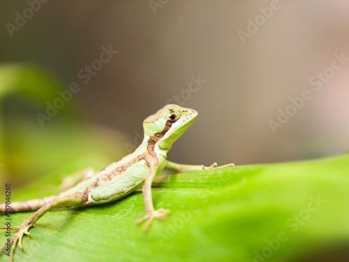 Portrait of Serated Caquehesd Iguana lizard be on the lookout - Laemanctus serratus