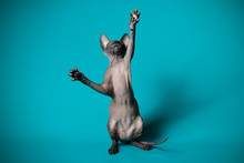 Don Sphinx Kitten