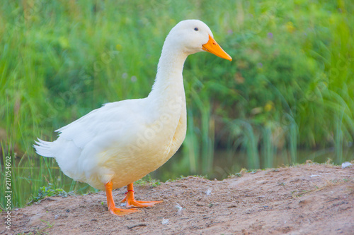 Photo  white domestic ducks