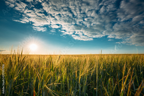 Obraz Summer Sun In Agricultural Landscape Of Young Green Wheat Field - fototapety do salonu